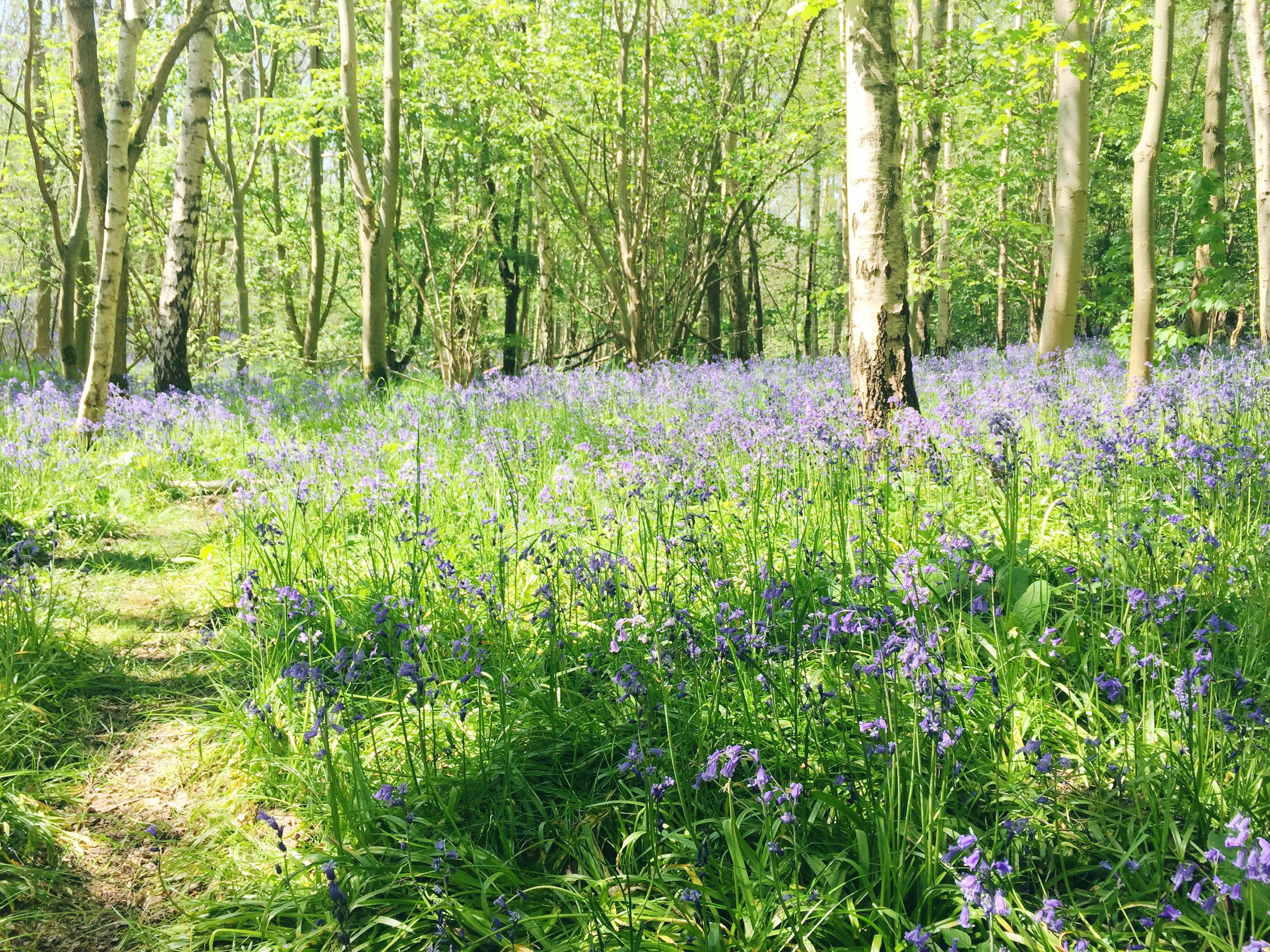 bluebell woods landscape 5