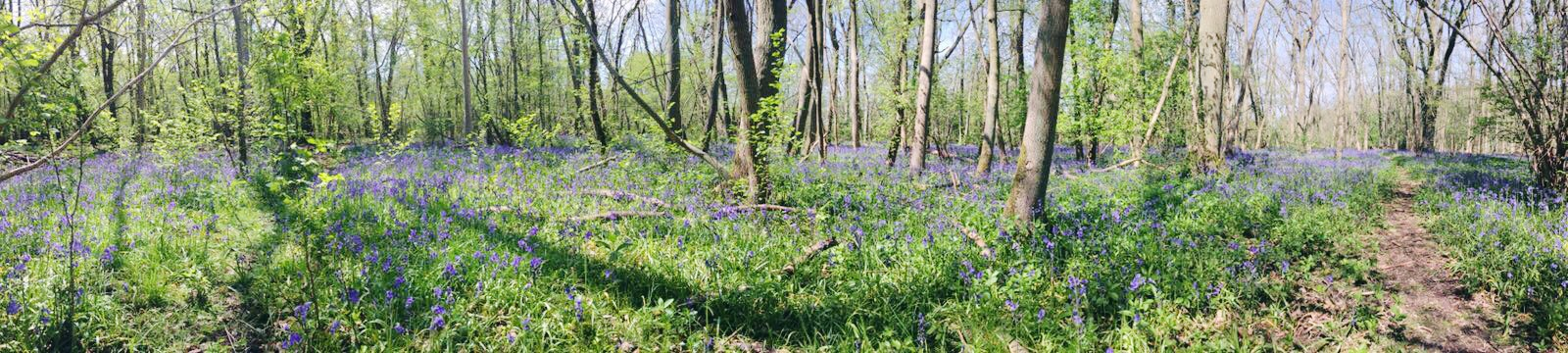 bluebell woods panoramic 2