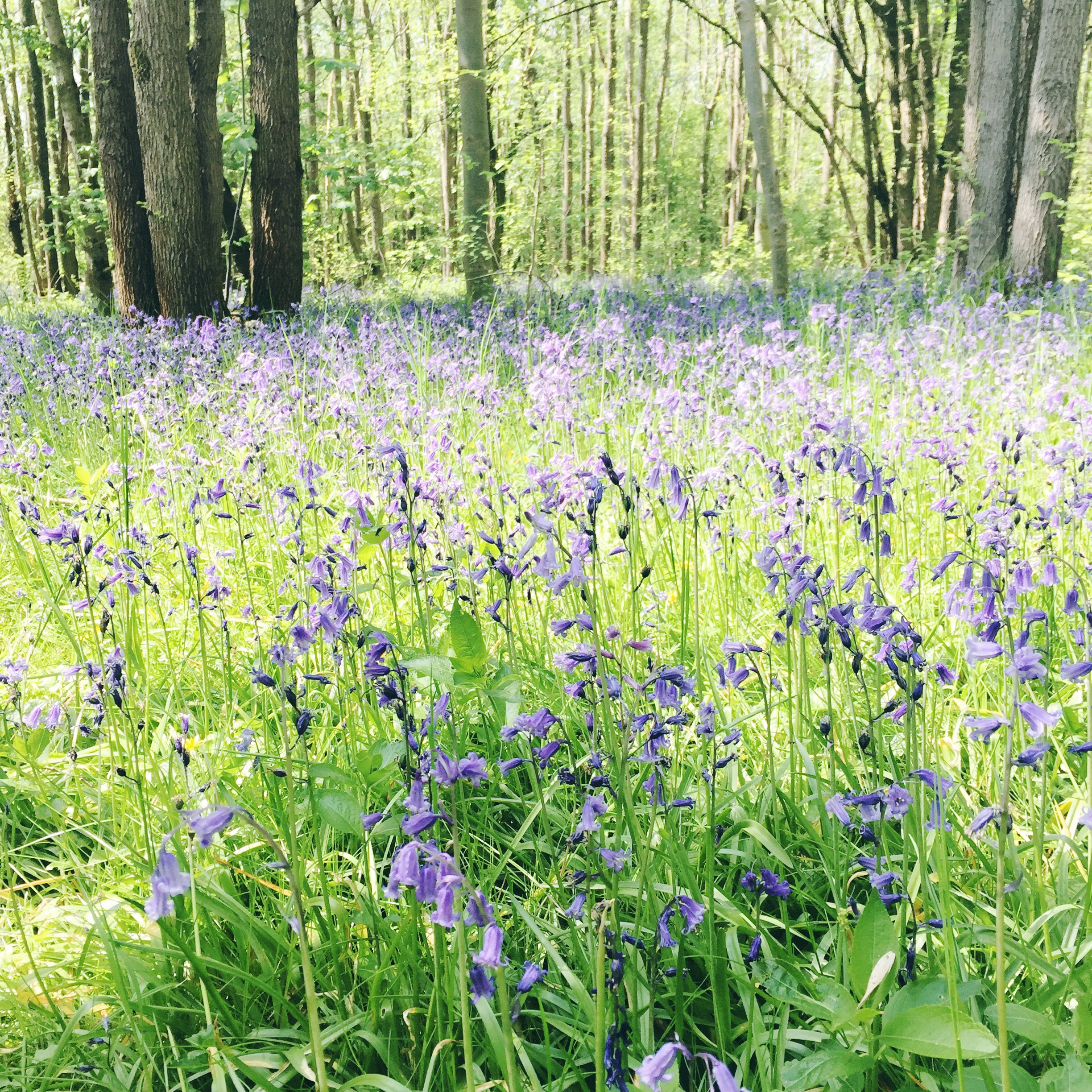 bluebell woods3