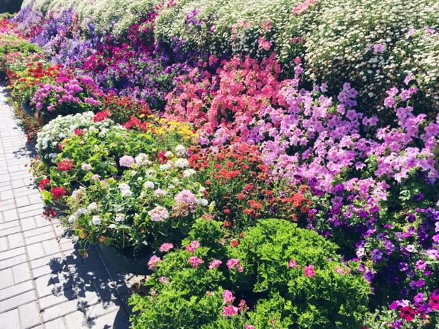 Miracle Garden Dubai 12