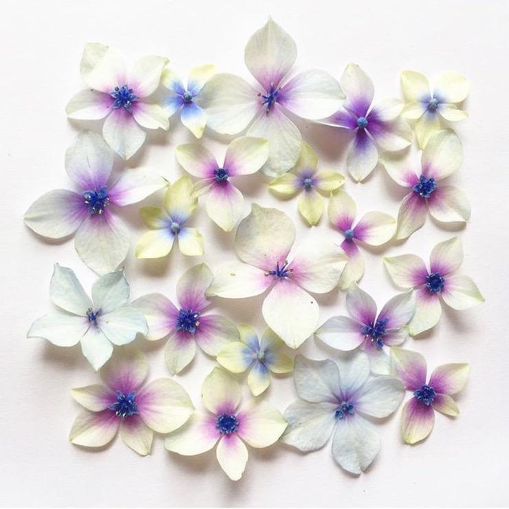 hydrangea petal flatlay crisitna colli daphnerosa
